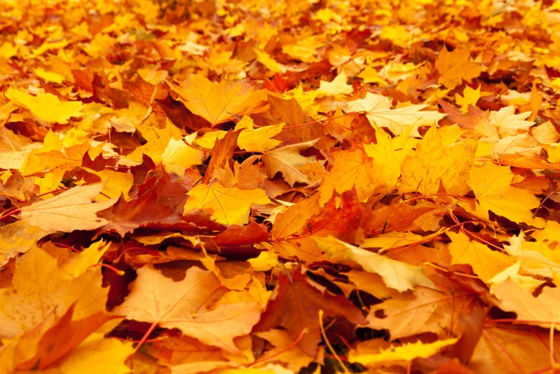 yellow-maple-leaves-1352716217xTr