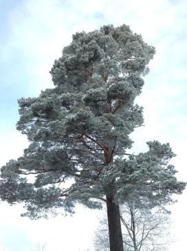 Skogsbeståndet har vinterskrud