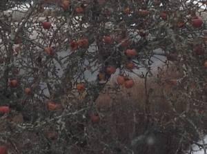 Äppelträdet 2015