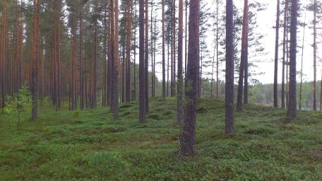 Tallskogen vid Malingarna