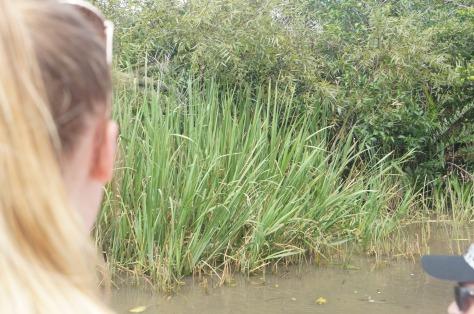 Alligatorspaning i Everglades