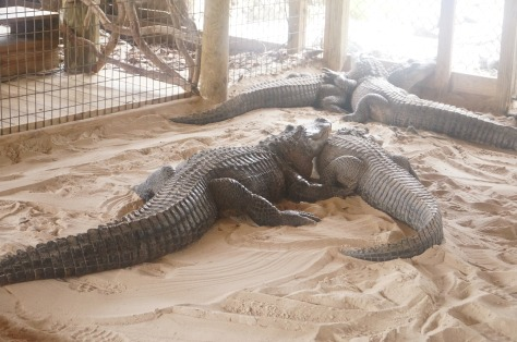 #alligatorshow i Everglades