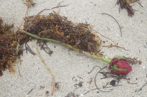 En uppspolad ros på stranden