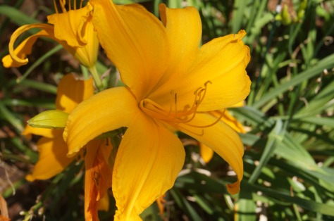 Gul lilja