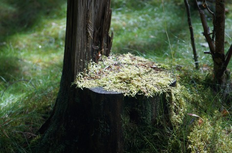 granskog, fur tree _1