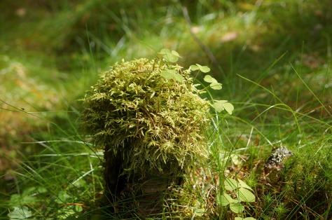 granskog, fur tree