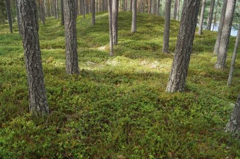 tallskog vid Malingarna_1